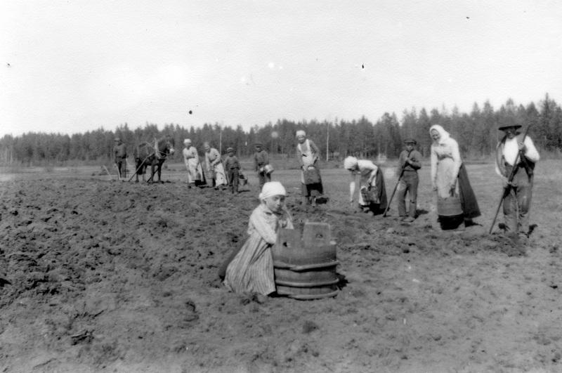 Potatissättning i Mångberg