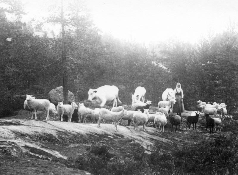 Kossor och får på vall